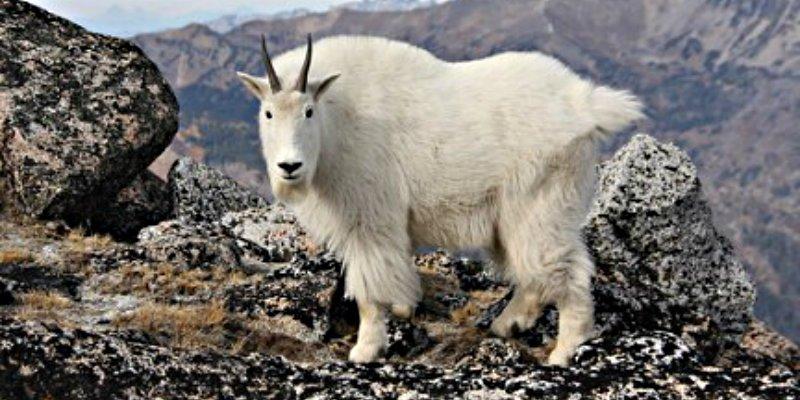 Genética: China logra reproducir la primer cabra clonada de lana de cachemira