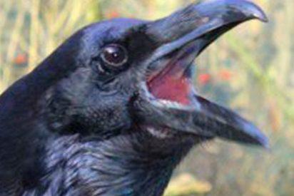 El cuervo más listo del planeta