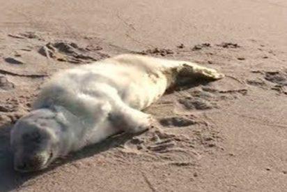 Rescatan a esta pequeña foca con graves heridas en la costa del mar Báltico