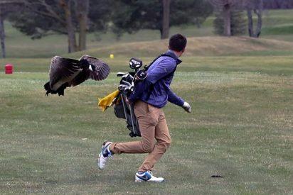 El feroz ataque de un ganso a un golfista en pleno torneo