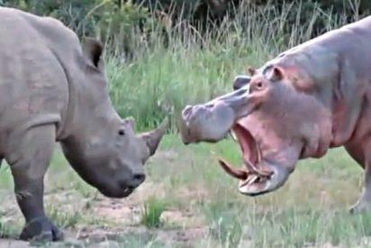 El hipopótamo mata a un rinoceronte por beber en su charca