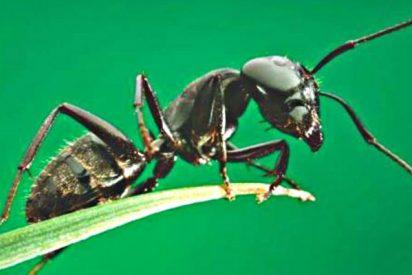 Las hormigas son guerreros que se inmolan para liberar 'armas químicas' contra sus enemigos