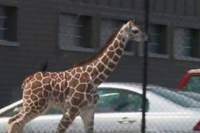 Esta cría de jirafa 'se escapa' de un zoológico en Indiana
