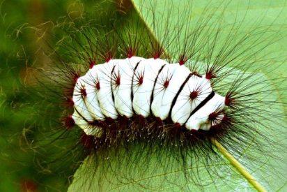 Insectos: Se descubre un enjambre híbrido en una megaplaga global