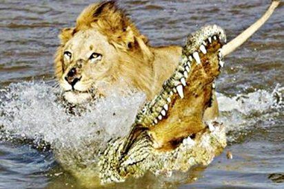 El duelo entre el león y el cocodrilo