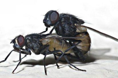 Las moscas macho disfrutan casi como los humanos con el sexo