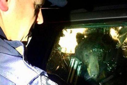 Este oso cabreado y con mucha hambre entra en un coche y queda encerrado