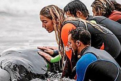 Gran operación de rescate de una ballena varada