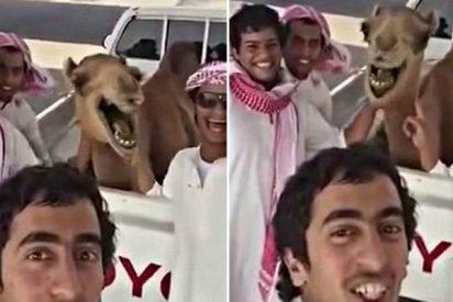 La espeluznante risa del camello