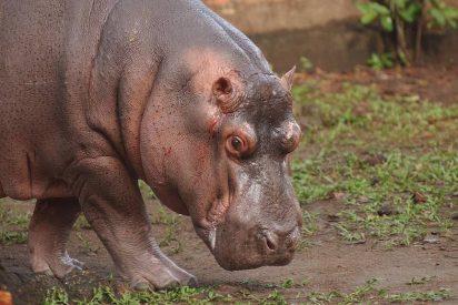 ¿Sabías que los hipopótamos de Pablo Escobar son la mayor especie invasora del mundo?