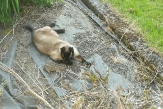 Así se escapa este conejo con mala suerte de las fauces de un gato pero es cazado por un búho