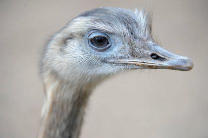 El listo que sortea el atasco del tráfico en hora punta montado en avestruz