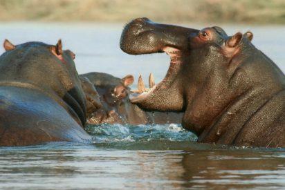 La familia de hipopótamos salva la vida a un pobre ñu atrapado por los cocodrilos