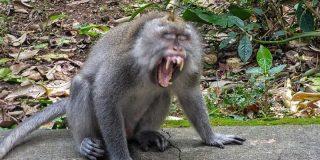 Tribulaciones de un turista en Bali: los monos folladores