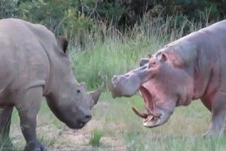 El hipopótamo mata al rinoceronte por beber en su charca
