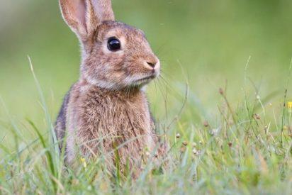 Mala suerte: Así escapa este conejo de las fauces de un gato para caer en las garras de un búho