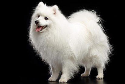 Compra un cachorro de Spitz japonés y 6 meses después descubre que no tiene en casa un perro, sino otra cosa
