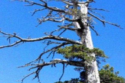 Este es el árbol más antiguo de Europa; ¿sabes cuál es su edad?