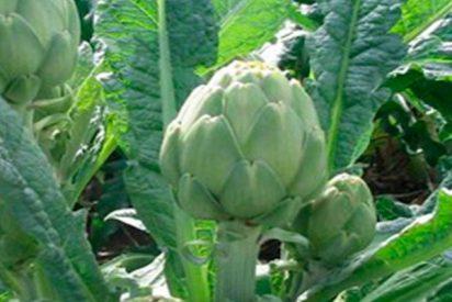 Las alcachofas te ayudan a bajar de peso y eliminar el colesterol