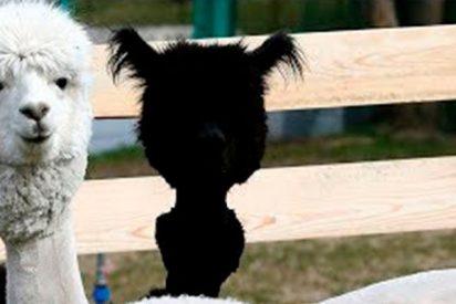 Las alpacas Rome y Julieta lucen nuevos cortes de pelo inspirados en el Mundial