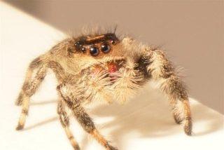 VIDEO Kim, la araña saltadora entrenada en la Universidad de Manchester