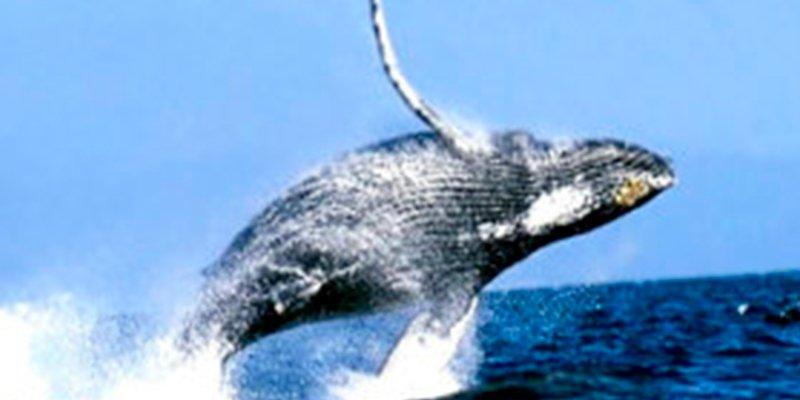 ¿Sabías que la ballena barbada empezó teniendo dientes?