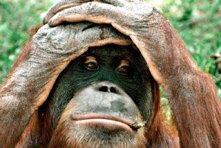¿Sabías que un 'Armagedón ecológico' amenaza a la especie más rara de Gran Simio?