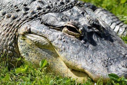 Capturan a esta caimán preñada junto a una escuela de Florida