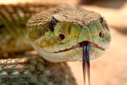 Aterrador: la serpiente sale de caza...