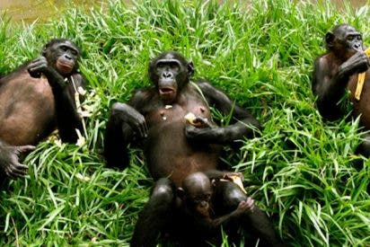 El vídeo que demuestra que los chimpancés también tienen comadronas