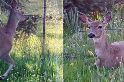 ¿Señales aiienígenas? Unos ciervos se mueven en círculos y nadie sabe por qué