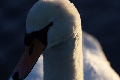 Este cisne intenta desesperadamente rescatar a su amigo enterrado en cieno