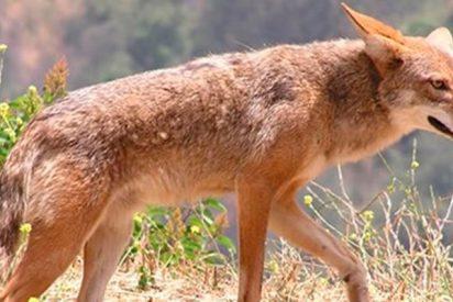 ¿Sabes por qué los coyotes se han adueñado de América del Norte?