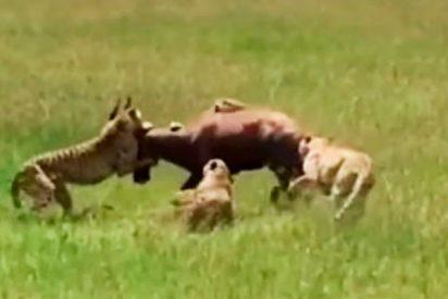 Épica resistencia de un antílope contra el feroz ataque de cinco guepardos