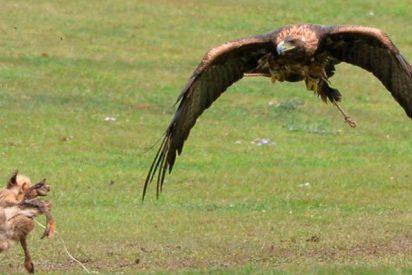 Duelo feroz entre un zorro y un águila calva por una presa