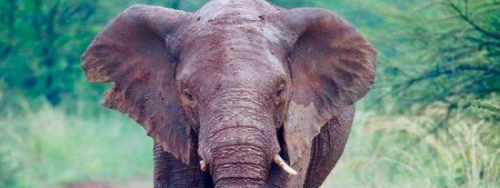 ¿Sabías que los elefantes se comunican haciendo vibrar el suelo?