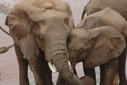¿Sabías que los elefantes cambian de hogar cuando se quedan huérfanos por la caza furtiva?