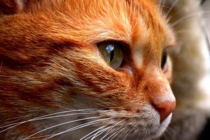 El gato educado que toca la puerta de su casa para que lo dejen entrar