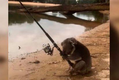 Graban a un koala 'pescando'