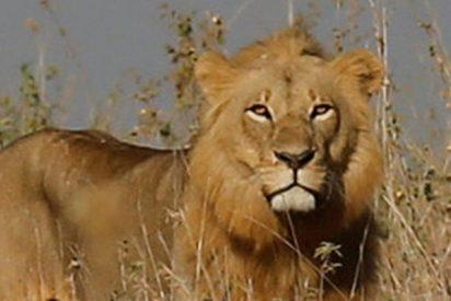 Feroz pelea entre leones por su territorio