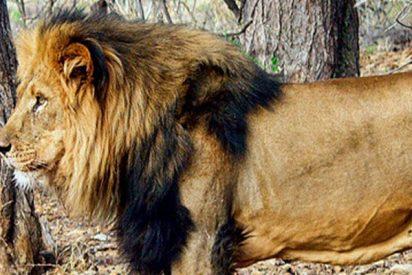 Este león ataca al dueño de una reserva de caza en Sudáfrica