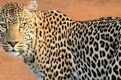 Turista graba cómo un leopardo jueguetea con su pierna durante un safari