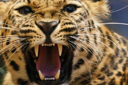 """Esta cigüeña escapa """"por las plumas"""" de las garras de un leopardo hambriento"""
