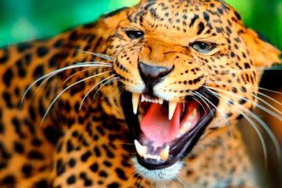 Un leopardo devora a un niño de tres años en un parque natural de Uganda