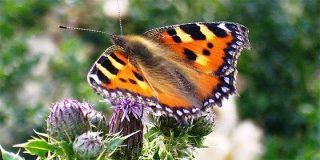 La rápida evolución no basta a las mariposas frente a cambios humanos