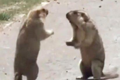 Así se parten los hocicos estas dos marmotas por copular con una hembra