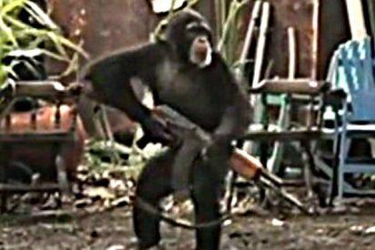 Los guerrilleros idiotas dan un AK-47 al mono y este los corre a tiros