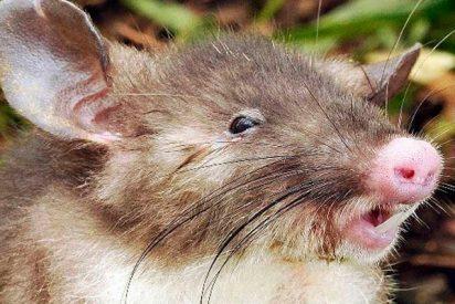 Descubren una nueva especie de musaraña en Filipinas con pelo en la cola
