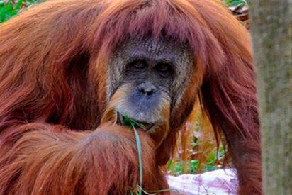 Este visitante de un zoo se gana el beso de un orangután