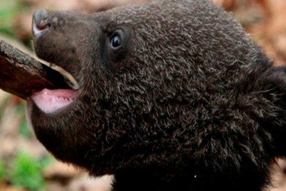Esta familia cría durante años a un oso en peligro de extinción creyendo que era un perro